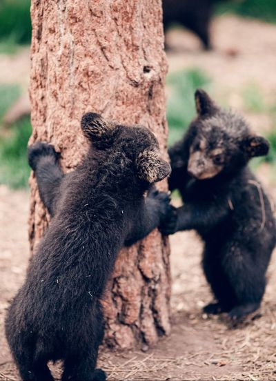 Close-up of bear cubs by tree