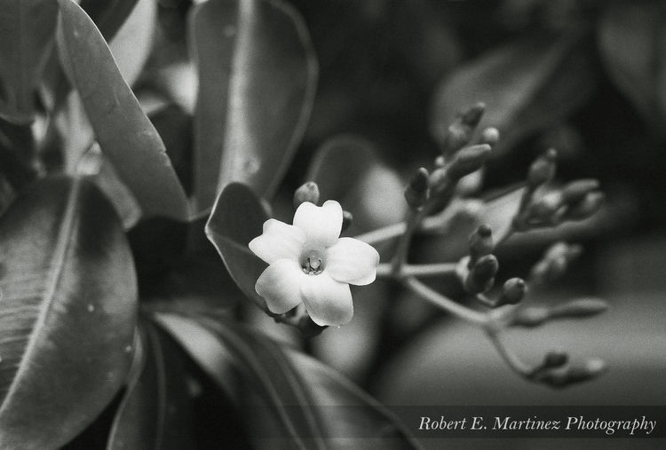 """"""" The most colorful thing in the world is black and white, it contains all colors and at the same time excludes all.""""-Vikrmn I took this with my Nikon F3HP on Ilford HP5 35mm film, this is the Fagraea berteriana (sometimes as F. berteroana), but it is known as the Pua keni keni here in Hawaii. Luckywelivehawaii Honolulu, Hawaii Hello World Check This Out Taking Photos Tranquil Scene EyeEmBestPics Eye Em Nature Lover Getting Away From It All Outdoors Scenics Beauty In Nature Blackandwhite Nikon F3 35mm Film EyeEm Best Shots Filmisnotdead Check This Out Hello World Taking Photos Enjoying Life"""