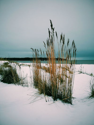 Plants on snow covered land by sea against sky