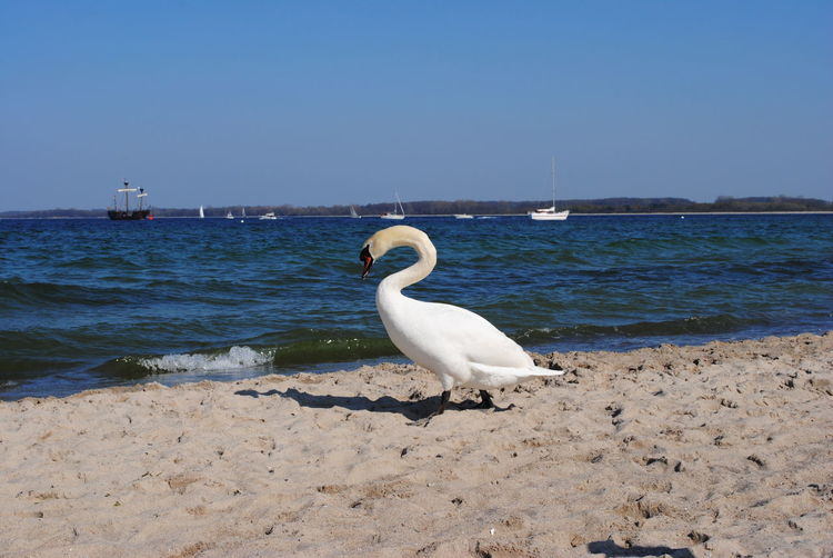 Perfect curve. Beach Bird Animals In The Wild Sea Animal Wildlife One Animal Water Sand Animal Themes Day Nature Outdoors No People Scenics Beauty In Nature Perching Sky Swan White Bird Blue Baltic Sea Germany Lübecker Bucht Travemünde