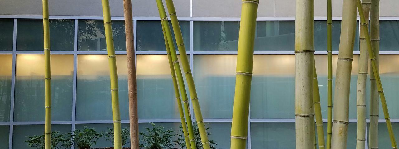 Bamboo garden Tree Green Color Outdoors Bamboo Grove