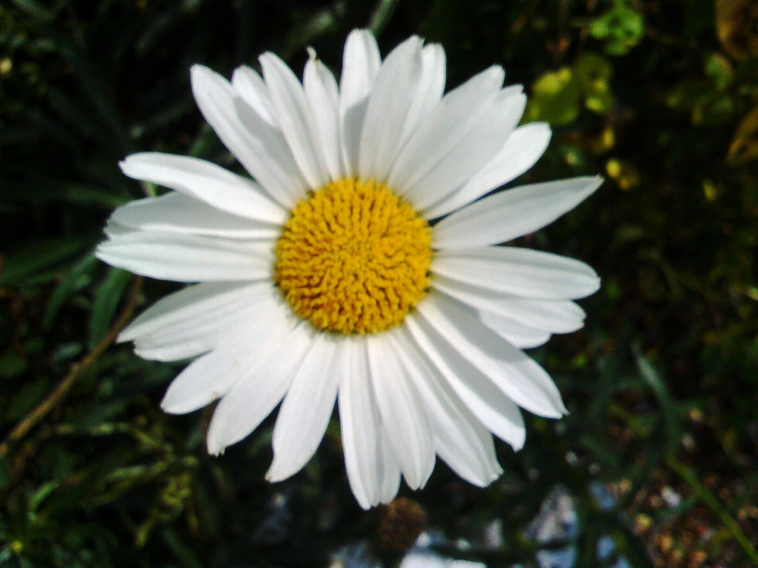 flower, petal, flower head, freshness, fragility, white color, pollen, single flower, yellow, daisy, growth, blooming, beauty in nature, close-up, focus on foreground, nature, plant, in bloom, outdoors, day