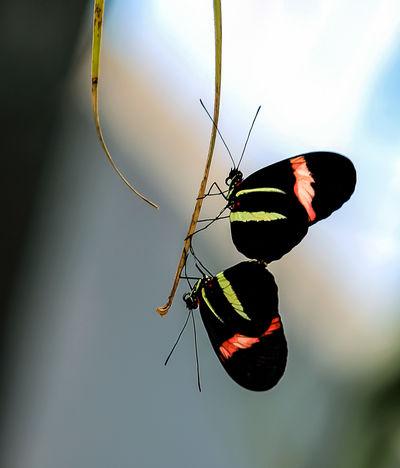 A mating pair of butterflies. Black Black, Red And Yellow Butterflies Butterflies Flying Mating Mating Pair Of Butterfly Nature No People Wildlife Wings