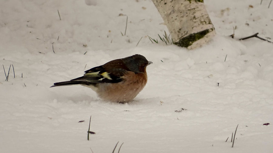 Winter Animal Themes Animal Wildlife Animals In The Wild Bird Close-up Cold Temperature Day Nature No People One Animal Outdoors Perching Snow Snow And Bird Wildlife Winter