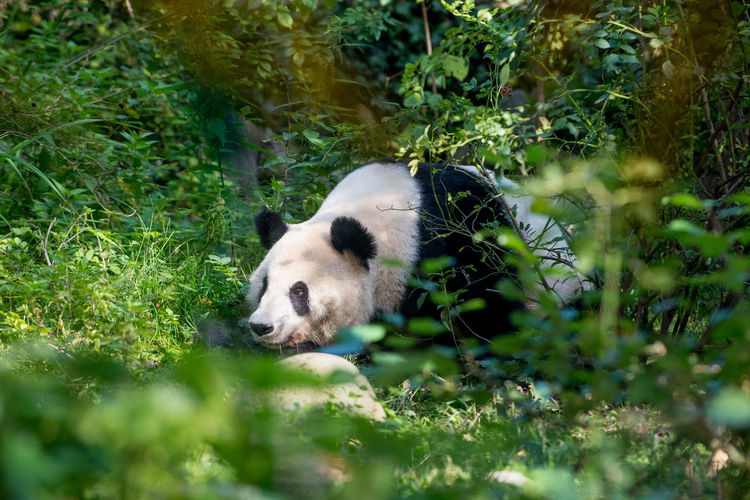 Giant Panda Lying Amidst Plants