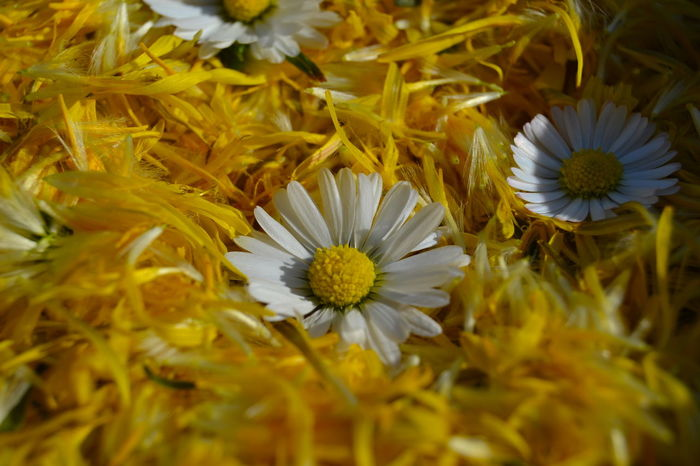 Beauty In Nature Blooming Close-up Daisy Daisy Flower Dandelion Dandelion Blossom Dandelion Collection Day Flower Flower Head Fragility Freshness Growth Nature No People Outdoors Petal Petals Petals Of Dandelions Plant Pollen Yellow Yellow Color Yellow Petals