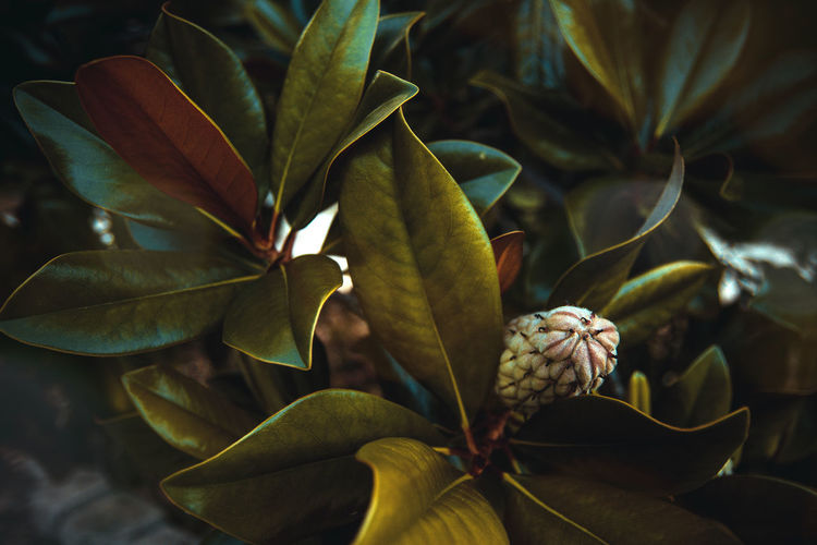 Close-up of green leaves on magnolia tree