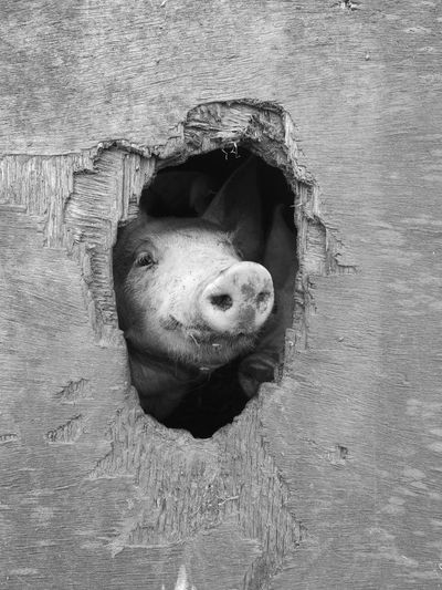 Pig Seen Through Hole Of Wooden Wall