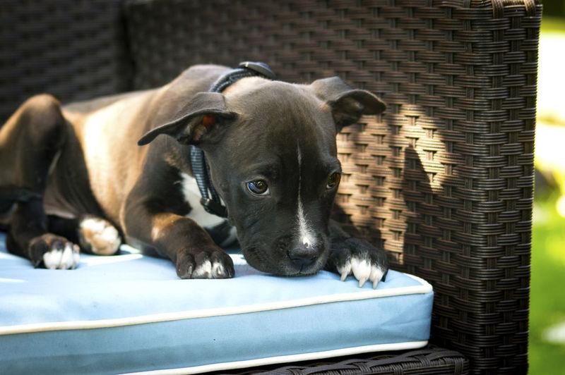 Pit bull terrier puppy lying on wicker chair in back yard