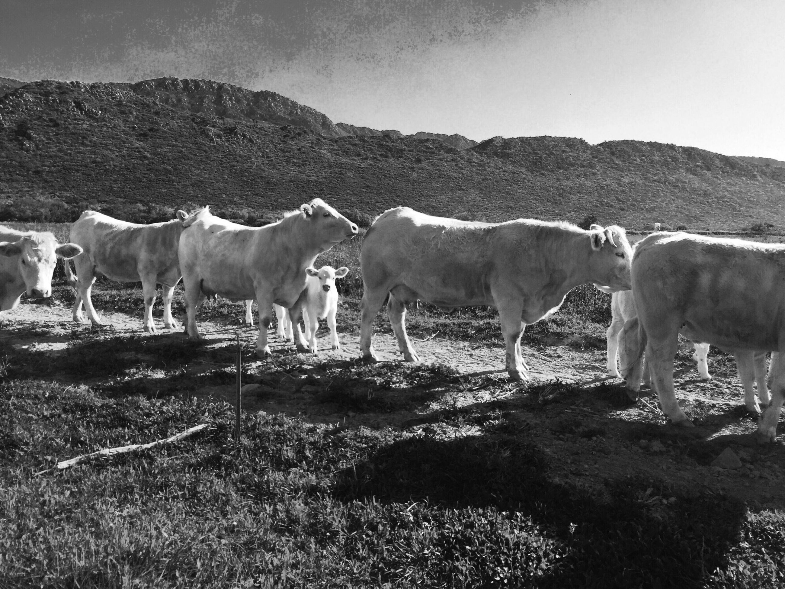 domestic animals, livestock, animal themes, mammal, horse, field, cow, herbivorous, landscape, grazing, grass, standing, domestic cattle, fence, nature, pasture, sky, clear sky, rural scene, medium group of animals