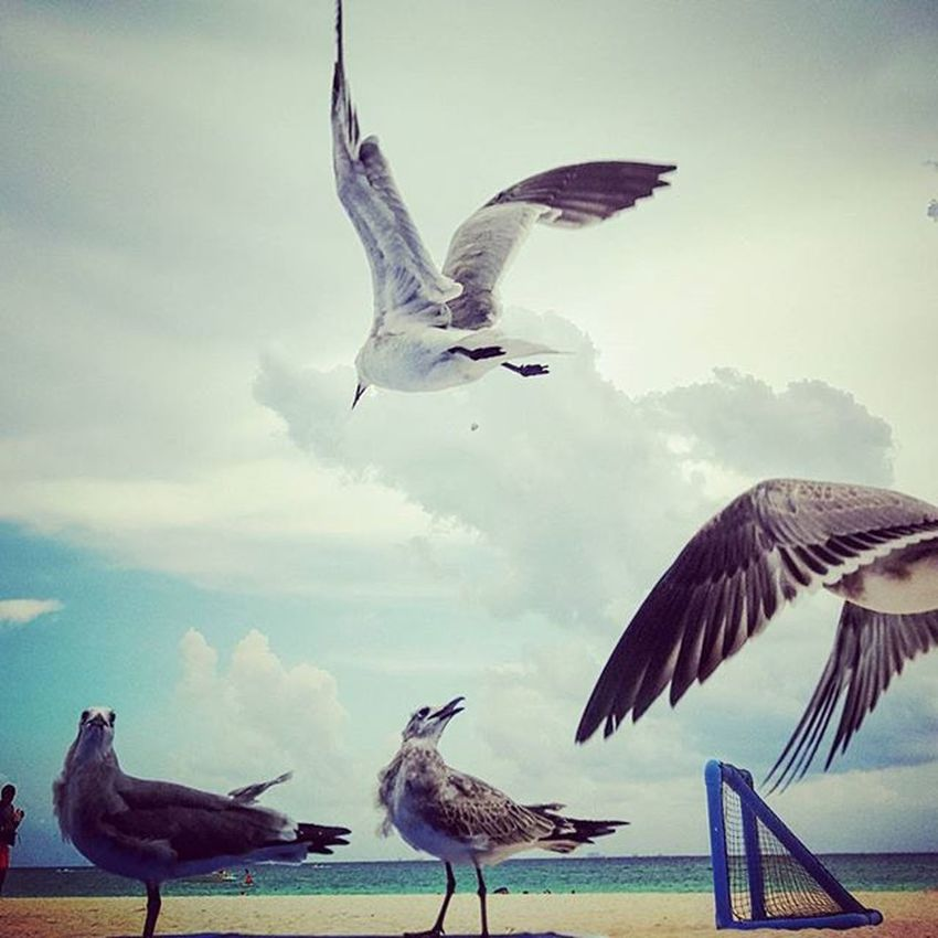 Gaviotas  Futboleras Seagull Soccee Teamseagull Match Birds Aves Sea Mar Ocean Beach Reposera Eating Flying Volando Competencia Rapidez Nature Birdwatcher Instanature Gathering Cool Awesome Picoftheday clouds ig_captures ig_divineshots pg_mistica_y_romance pg_misticayromance