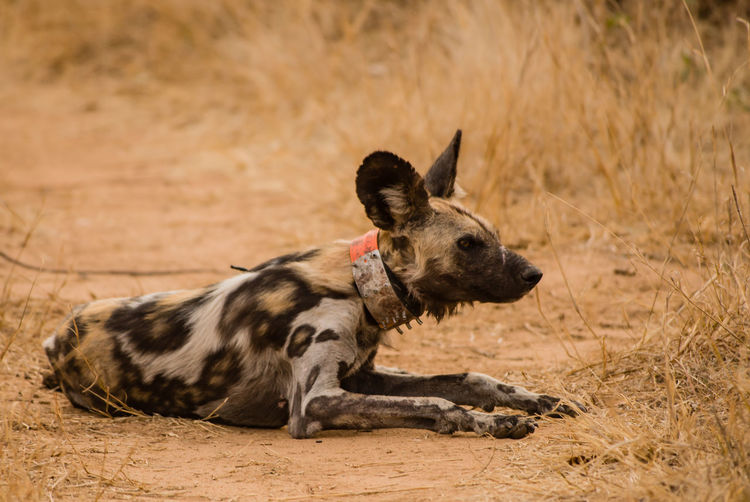 Wild Dog Resting On Field
