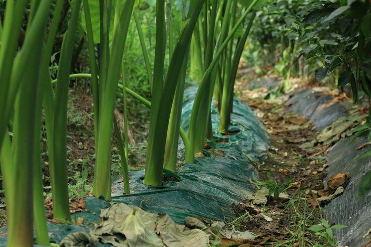 Plants growing through plastic in  a garden