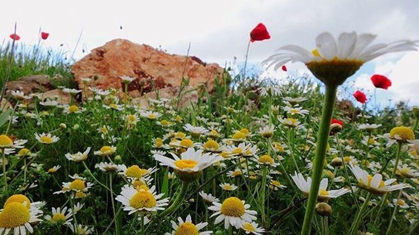 ريف إدلب .. تصوير 📷 @ayhm_abdulwli ب 21/4/2015 عدستي تصويري  ورد ورود Flower Flowers Spiring Livelovesyria