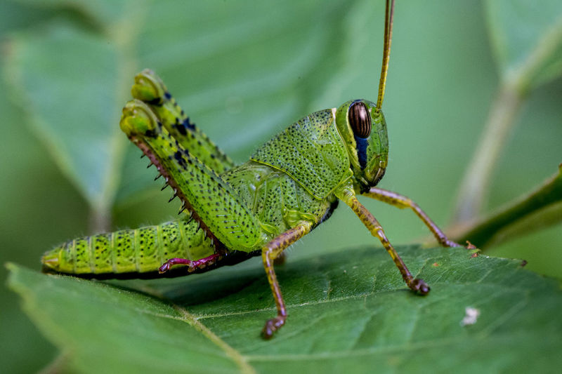 Locust Green Animal Animal Photography Animal Themes Animal Wildlife Animals In The Wild Close-up Day Focus On Foreground Green Leaf Green Color Insect Leaf Locust Locust Tree Macro Nature Nature One Animal Outdoors Plant