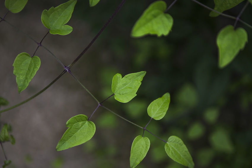 Backgrounds Beauty In Nature Botany Close-up Day Focus On Foreground Full Frame Green Green Color Growing Growth Leaf Leaf Vein Leaves Lush Foliage Natural Pattern Nature No People Outdoors Plant Selective Focus Tranquility Twig