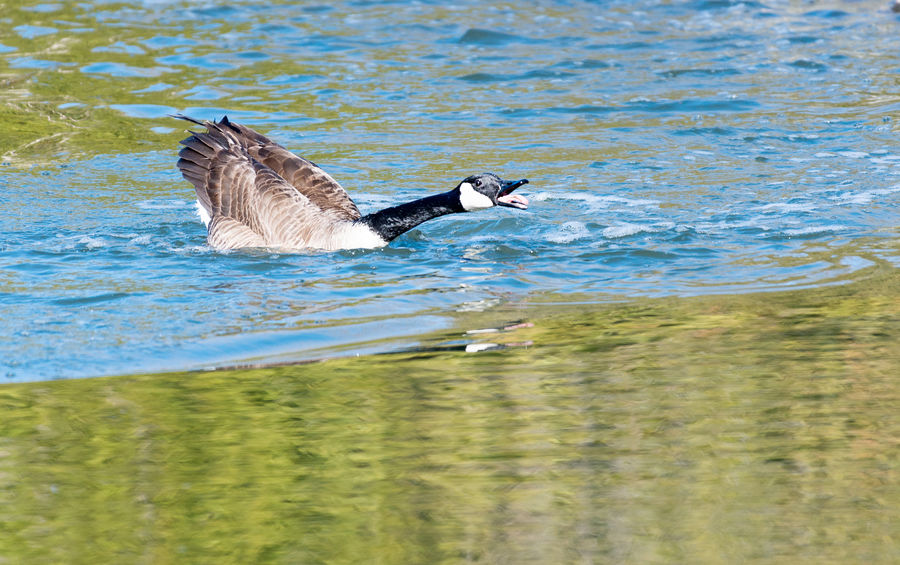 Canadian goose or Branta Candensis on the attack or defending its territory in a pond Animal Beauty In Nature Bird Watching Birds Branta Canadensis Canadian Fauna Canadian Geese Canadian Goose Day Fauna Feathers Lake Migrating Birds Nature No People Outdoors Pond Rippled Water Waterfowl Wildlife Wildlife & Nature Wildlife Photography Wings