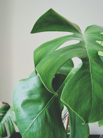 Leaf Green Color Plant Close-up Indoors  No People Freshness Food Nature Day George Chichinadz First Eyeem Photo