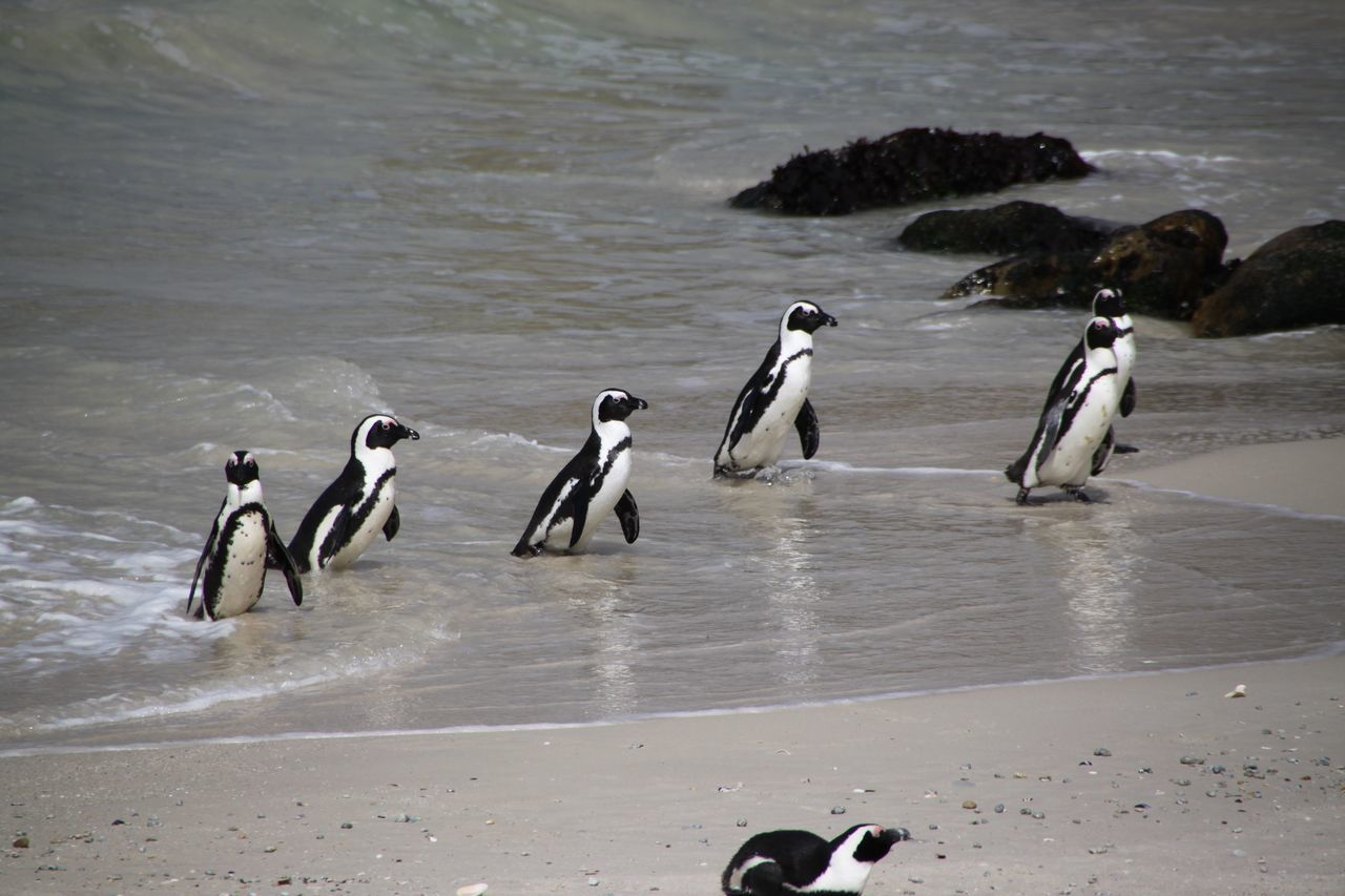 animal themes, animals in the wild, water, animal wildlife, beach, bird, sand, nature, sea, day, penguin, large group of animals, no people, outdoors, beauty in nature, mammal