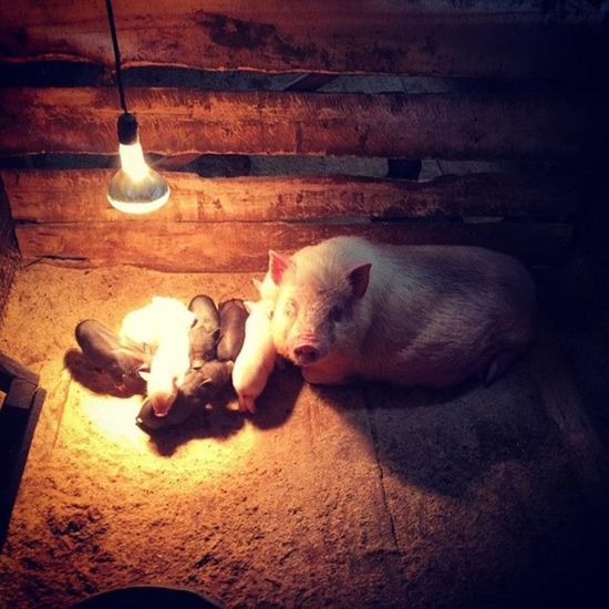 Pigs Ferm Хрюшки ферма хлев Shades Of Winter