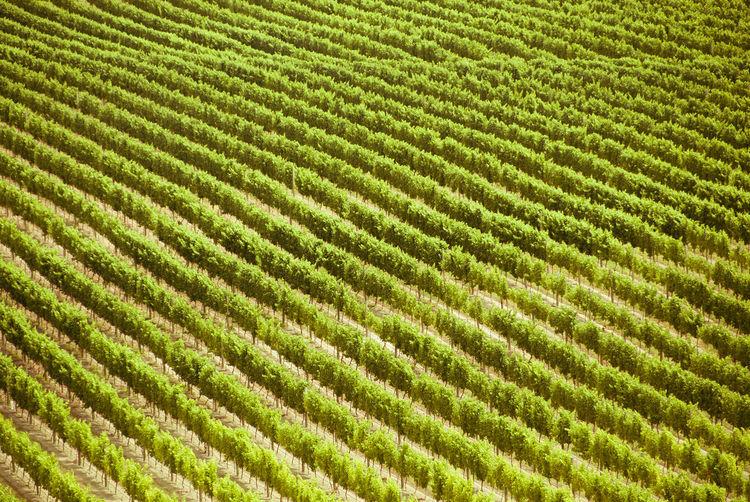 Vines on a vineyard near Blenheim, New Zealand. Backgrounds Blenheim Close-up Diagonal Lines Diagonals Green Green Color Lush Marlborough No People Pattern Repetition Side By Side Structure Vine Vines Vinyard Wine