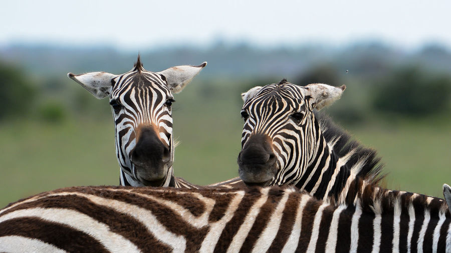 Animal Markings Animal Themes Animal Wildlife Animals In The Wild Beauty In Nature Close-up Day Focus On Foreground Mammal Nature No People Outdoors Safari Animals Striped Togetherness Zebra