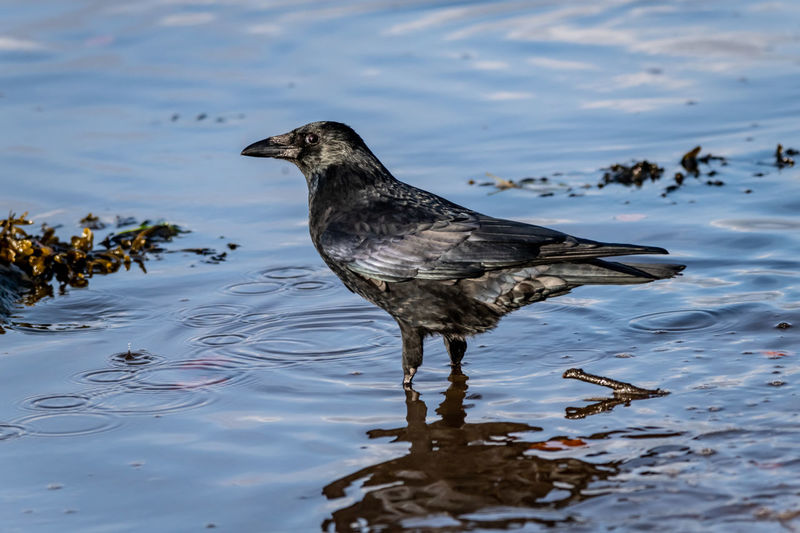 Black crow standing in the water at the sea shore. Crow Black Crow Black Bird Bird Photography Sea Sea Shore Animal Curious Curiousity Scotland Scottish Wildlife Bird In Water One Animal Water Animals In The Wild Lake No People Close-up Black Color Beak Perching Day Nature Animal Wildlife