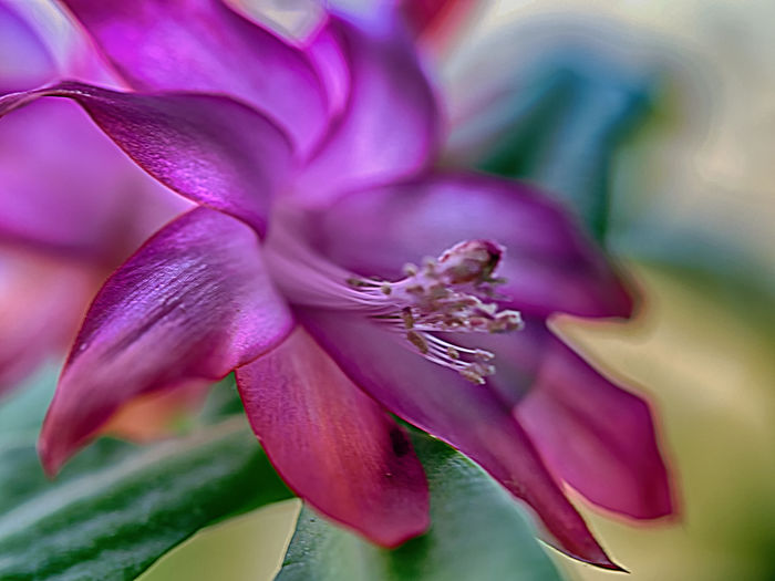 Zimmerpflanzen Schlumbergera Flowering Plant Flower Beauty In Nature Freshness Plant Close-up Petal Fragility Vulnerability  Growth Purple Inflorescence Flower Head Nature Selective Focus Pink Color No People Day Focus On Foreground Magenta Outdoors Springtime Pollen Softness Gardening