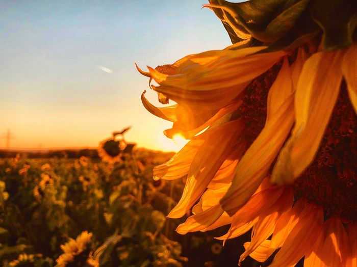 Sunflowers🌻 Sunflowers Field EyeEm Germany Sunflower Golden Hour Flower Plant Flowering Plant Sky Beauty In Nature Nature Growth Yellow Sunlight Sunset Outdoors Orange Color