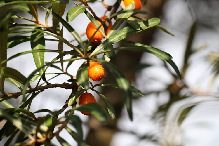 Buckthorn Buckthorntree Close-up Day Focus On Foreground Food Food And Drink Freshness Fruit Green Color Growth Healthy Eating Leaf Nature No People Orange Orange Color Outdoors Plant Plant Part Ripe Rowanberry Selective Focus Tree Wellbeing EyeEmNewHere