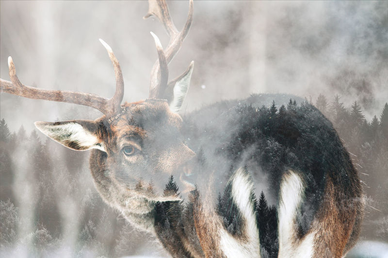 Deer Animal One Animal Animal Themes Winter Mammal Animal Wildlife Animals In The Wild Vertebrate No People Nature Focus On Foreground Close-up Deer Antler Animal Head  Herbivorous Double Exposure Roe Deer Bucket Deer Winter Snow Forest Nature Wildlife