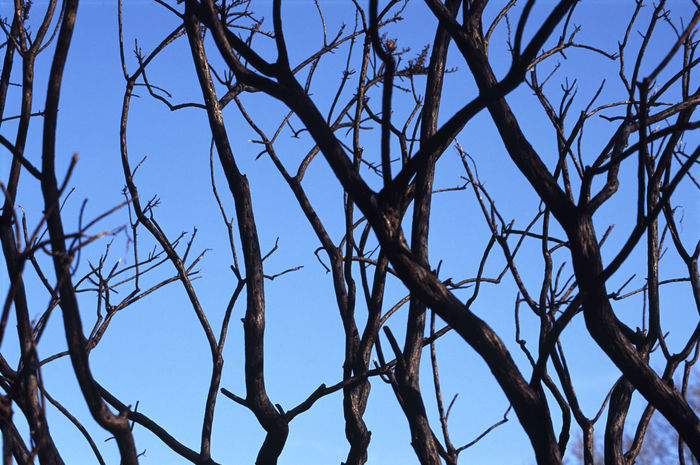 tree branches after a fire Bare Tree Beauty In Nature Black Blue Blue Sky Branches Branches And Sky Bush Fire Charred Clear Sky Dead Form Growth Lines. Shape Nature Pattern Sky Tree Trees