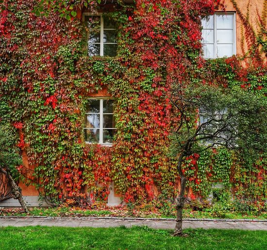 nature running wild 😃 Autumn Collection Autumn🍁🍁🍁 Autumn Colors House Growth Growing Leaves Leaves 🍁 Leaves_collection