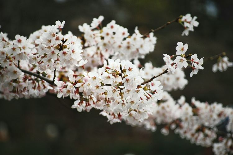 CLOSE-UP OF CHERRY BLOSSOM TREE