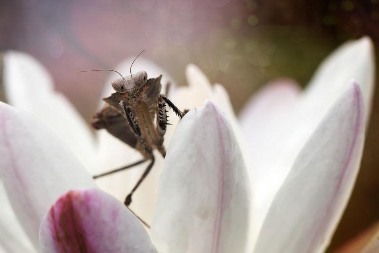 Small Mantis -