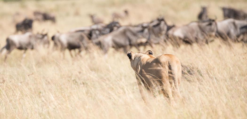 Lioness Walking On Grassy Field