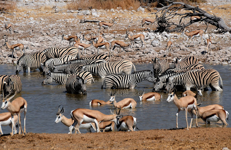Zebras and springboks at pond