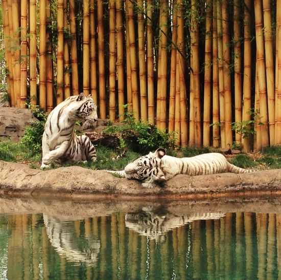 White Tigers Reflected In Pond Water Against Bamboo Wall In Zoo