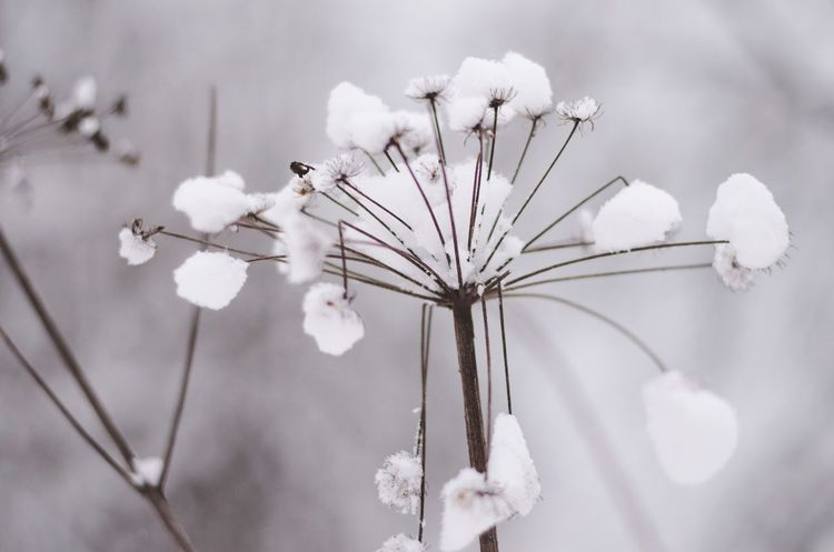 Flower White Color Fragility Nature Growth Petal Beauty In Nature Flower Head Plant Day Close-up No People Focus On Foreground Blooming Branch Freshness Outdoors Umbrella Plant