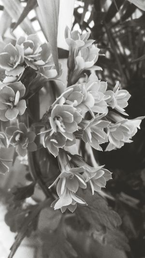 Flower Petal Plant Nature Flower Head No People Plant Blooming Day Close-up Blackandwhite Freshness Beauty In Nature Fragility Growth