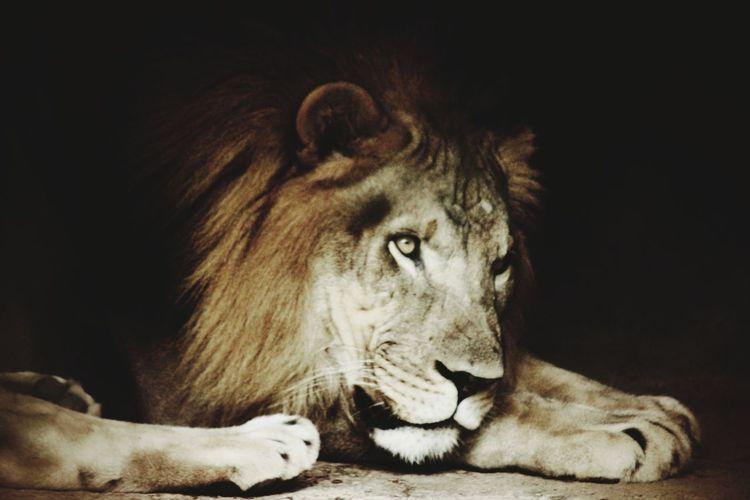 Zoo Zoo Animals  Zoophotography EyeEm Selects Black Background Lion - Feline Portrait Lying Down Close-up Carnivora Feline Undomesticated Cat Mane Roaring Whisker Safari Animals EyeEmNewHere