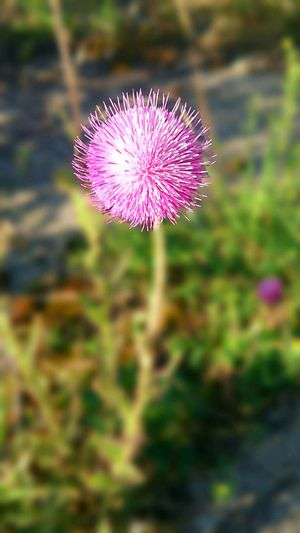 Nature Thistle