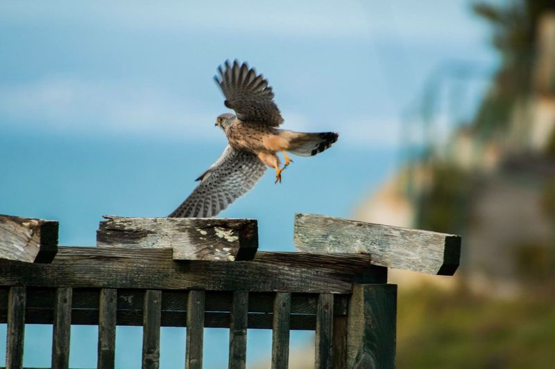 Merlin. iBird Of PreyeIn FlighthAnimal ThemeseBirdrAnimals In The WildlOne AnimalaSpread WingsgAnimal WildlifefFlyingnMotionoNaturerEyeEm Best ShotstCoastlinene