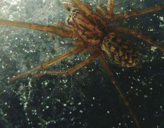 Spider Chevron