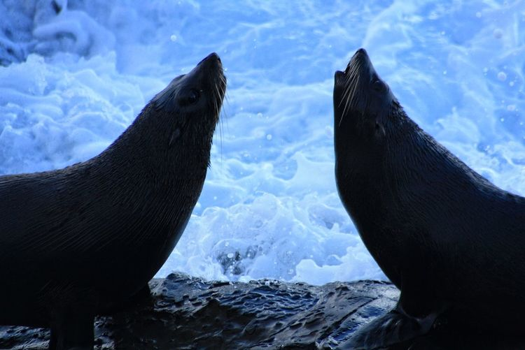 Close-up of sea lions in snow