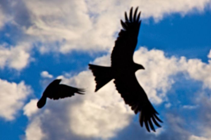 Animal Themes Animals In The Wild Beauty In Nature Bird Crow See Off Red Kite Day Flying No People Outdoors Silhouette Sky Spread Wings