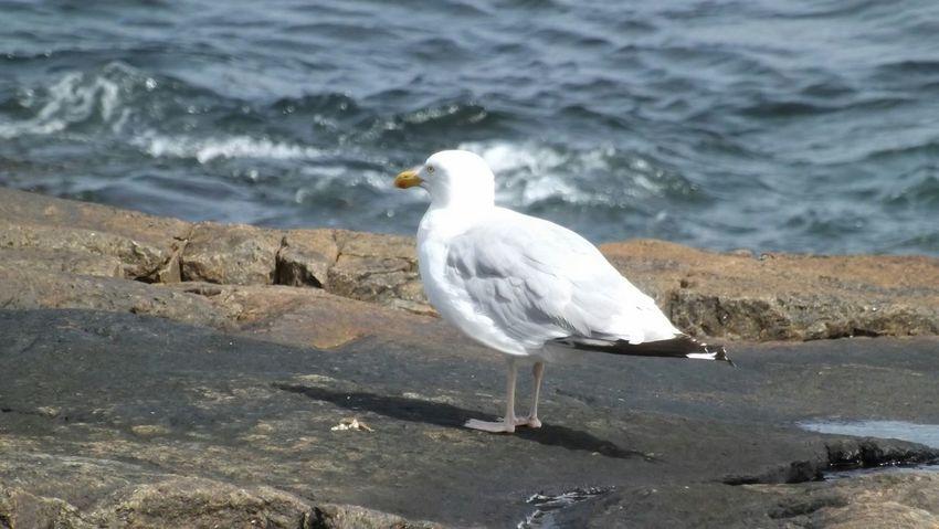 Mainecoast Mainewildlife Herringgull Seagull Seagulls And Sea Bird Photography Birds Birds_collection Seagulls In The Park Acadianationalpark
