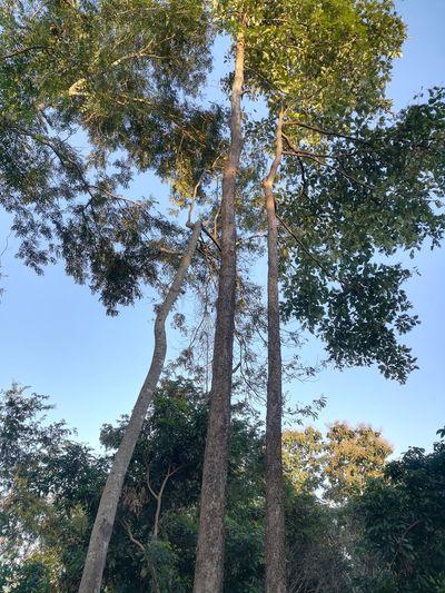 trees Tree Tree