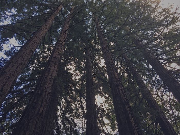 Low angle view of redwood trees in forest at sonoma county