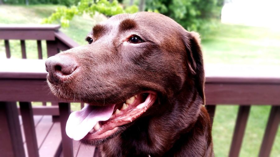 Close-up of chocolate labrador sticking out tongue in yard